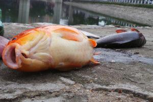 Chiêm bao, nằm mơ thấy cá chết điềm gì, đánh lô đề con gì?