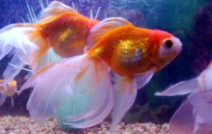 Chiêm bao, nằm mơ thấy cá vàng điềm gì, đánh lô đề con gì?