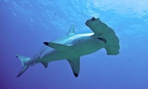 Chiêm bao, nằm mơ thấy cá mập điềm gì, đánh lô đề con gì?