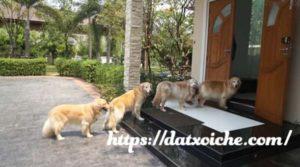 Chó vào nhà là điềm gì, hên hay xui?