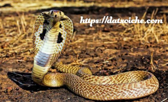 Nằm mơ thấy rắn hổ mang đánh con gì, là điềm gì?