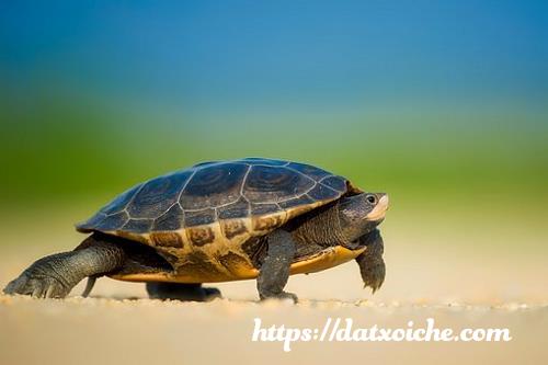 Nằm mơ thấy rùa đánh con gì, là điềm gì?