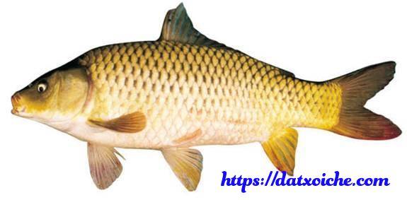 Nằm mơ thấy cá chép đánh con gì, điềm báo gì?