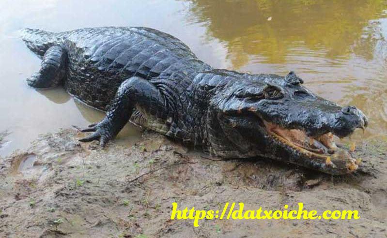 Nằm mơ thấy cá sấu đánh số mấy, là điềm gì?