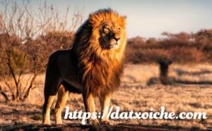 Mơ thấy sư tử đánh con gì, là điềm gì?