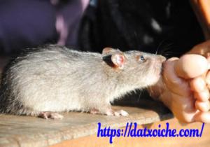 Bị chuột cắn có điềm gì không, hên hay xui ?
