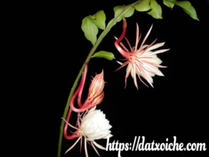 Ý nghĩa loài Hoa Quỳnh nở về đêm